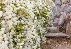 Ένας θάμνος των άσπρων λουλουδιών spirea Στοκ Φωτογραφίες