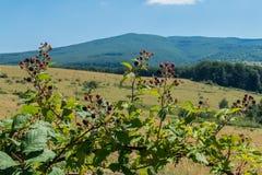 Ένας θάμνος των εδώδιμων βατόμουρων είναι πολύ νόστιμη και χρήσιμη ανάπτυξη σε ένα λιβάδι αγνοώντας τις πράσινες βουνοπλαγιές Στοκ Φωτογραφία