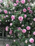 Ένας θάμνος των ρόδινων τριαντάφυλλων κρεμά πέρα από έναν φράκτη σε ένα αγροτικό χωριό στοκ εικόνα