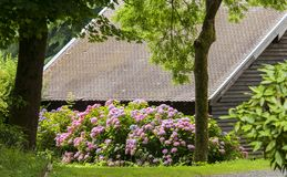 Ένας θάμνος των ρόδινων hortensias κοντά στο σπίτι με τη χαμηλή στέγη Στοκ Εικόνες