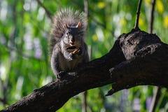 Ένας θαμνώδης παρακολουθημένος σκίουρος που απολαμβάνει το γεύμα του στοκ εικόνες με δικαίωμα ελεύθερης χρήσης