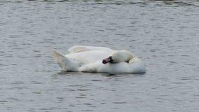 Ένας θαυμάσιος άσπρος κύκνος κολυμπά σε μια λίμνη και καθαρίζει το φτερό φιλμ μικρού μήκους