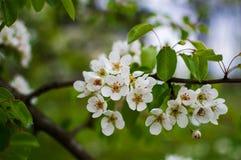 Ένας θαυμάσιος κλάδος ενός ανθίζοντας δέντρου αχλαδιών με τα άσπρα μικρά λουλούδια Στοκ Φωτογραφία