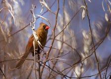 Ένας θηλυκός βόρειος καρδινάλιος το χειμώνα στοκ εικόνα
