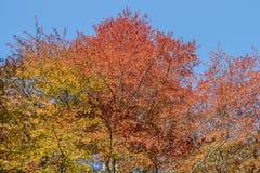 Ένας θόλος των κόκκινων χρυσών και πράσινων δέντρων Lucious στο πάρκο Troon Σκωτία Fullarton στοκ φωτογραφία με δικαίωμα ελεύθερης χρήσης