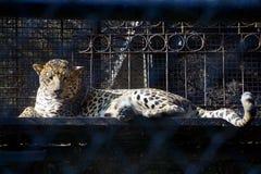 Ένας ιαγουάρος/μια λεοπάρδαλη που παίρνει το υπόλοιπο στο ζωολογικό κήπο στοκ εικόνα
