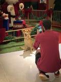 Ένας ιδιοκτήτης που παίρνει μια εικόνα του σκυλιού του μπροστά από τις διακοσμήσεις Χριστουγέννων στοκ εικόνα