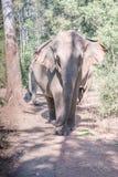 Ένας ινδικός ελέφαντας Στοκ εικόνες με δικαίωμα ελεύθερης χρήσης
