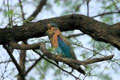 Ένας ινδικός κύλινδρος (benghalensis Coracias) που τραγουδά Στοκ Φωτογραφίες