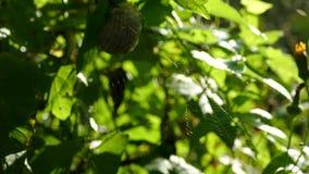 Ένας Ιστός και μια αράχνη ταλαντεύονται στα αλσύλλια του δασικού βίντεο με τον ήχο των δασικών πουλιών και της ζούγκλας όμορφος φιλμ μικρού μήκους