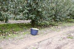 Ένας κάδος με τα μήλα στον κήπο οπωρώνας φύλλων καρπών κλάδων μήλων μήλων δέντρα σειρών Στοκ φωτογραφία με δικαίωμα ελεύθερης χρήσης