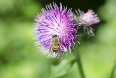 Ένας κάρδος λουλουδιών με μια μέλισσα Όμορφο θερινό λουλούδι στο φυσικό πράσινο υπόβαθρο Κινηματογράφηση σε πρώτο πλάνο Στοκ εικόνες με δικαίωμα ελεύθερης χρήσης