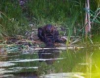 Ένας κάστορας που καλλωπίζεται εκτός από μια λίμνη στοκ εικόνες