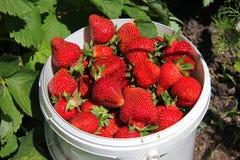 Ένας κάδος με μια φράουλα σε ένα κρεβάτι στον κήπο στοκ φωτογραφία
