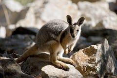 Ένας κίτρινος πληρωμένος βράχος joey wallaby στοκ εικόνες