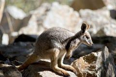 Ένας κίτρινος πληρωμένος βράχος joey wallaby στοκ φωτογραφία με δικαίωμα ελεύθερης χρήσης
