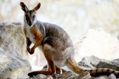 Ένας κίτρινος πληρωμένος βράχος wallaby στοκ εικόνες