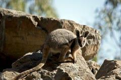 Ένας κίτρινος πληρωμένος βράχος wallaby στοκ φωτογραφίες με δικαίωμα ελεύθερης χρήσης