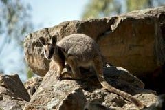 Ένας κίτρινος πληρωμένος βράχος wallaby στοκ φωτογραφία με δικαίωμα ελεύθερης χρήσης