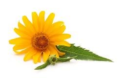Ένας κίτρινος chamomile στοκ εικόνα