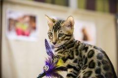 Ένας καλός εθελοντής δίνει μια άστεγη γάτα σε έναν καινούργιο ιδιοκτήτη στοκ εικόνα
