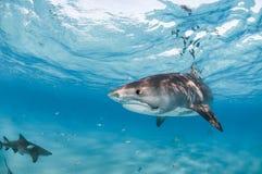 Ένας καρχαρίας τιγρών που κολυμπά κοντά στην επιφάνεια στο σαφή ωκεανό Στοκ φωτογραφία με δικαίωμα ελεύθερης χρήσης