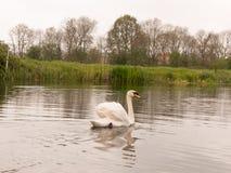 Ένας καλός μουγγός κολύμπησε σε έναν ποταμό στο πάρκο βρετανικών άνοιξη που κολυμπά μακριά το Si στοκ εικόνες