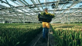 Ένας κηπουρός φέρνει ένα καλάθι με τις κίτρινες τουλίπες, που λειτουργούν σε ένα σύγχρονο θερμοκήπιο φιλμ μικρού μήκους