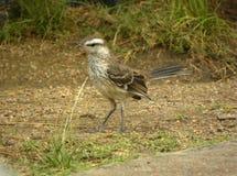 Ένας κιμωλία-browed mockingbird στον κήπο στοκ εικόνα με δικαίωμα ελεύθερης χρήσης