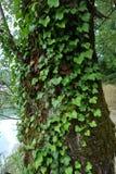 Ένας κισσός που αναρριχείται σε ένα παλαιό δέντρο Στοκ Φωτογραφία
