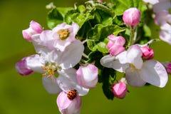 Ένας κλάδος ενός ανθίζοντας δέντρου μηλιάς σε έναν κήπο άνοιξη Στοκ Εικόνα