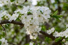 Ένας κλάδος ενός δέντρου με το άσπρο άνθισμα στοκ φωτογραφία με δικαίωμα ελεύθερης χρήσης