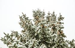Ένας κλάδος ενός χριστουγεννιάτικου δέντρου κάτω από το χιόνι χιονοπτώσεις Στοκ Εικόνα