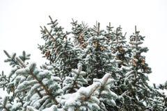 Ένας κλάδος ενός χριστουγεννιάτικου δέντρου κάτω από το χιόνι χιονοπτώσεις Στοκ Εικόνες