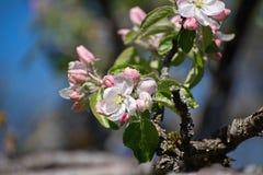 Ένας κλάδος μήλων με το λευκό και αυξήθηκε λουλούδια Στοκ Εικόνα