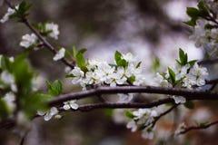 Ένας κλάδος μιας ανθίζοντας κινηματογράφησης σε πρώτο πλάνο δέντρων της Apple Άσπρα λουλούδια σε έναν κλάδο στοκ φωτογραφίες με δικαίωμα ελεύθερης χρήσης
