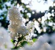 Ένας κλάδος της άσπρης πασχαλιάς στο φως χάραξης περιγράμματος Στοκ φωτογραφία με δικαίωμα ελεύθερης χρήσης