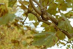 Ένας κλάδος του αποβαλλόμενου δέντρου κατά τη διάρκεια του φθινοπώρου σε ένα πάρκο στοκ φωτογραφία