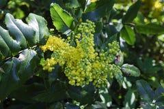 Ένας κλάδος του aquifolium mahonia με τα μικρά κίτρινα λουλούδια Στοκ εικόνα με δικαίωμα ελεύθερης χρήσης