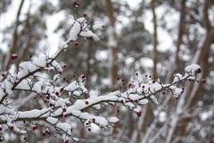 Ένας κλάδος των άγρια περιοχών αυξήθηκε στο χιόνι Χειμώνας Στοκ εικόνες με δικαίωμα ελεύθερης χρήσης