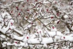 Ένας κλάδος των άγρια περιοχών αυξήθηκε στο χιόνι Χειμώνας Στοκ Φωτογραφίες