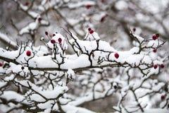 Ένας κλάδος των άγρια περιοχών αυξήθηκε στο χιόνι Χειμώνας Στοκ φωτογραφία με δικαίωμα ελεύθερης χρήσης