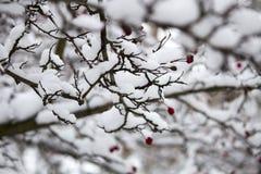 Ένας κλάδος των άγρια περιοχών αυξήθηκε στο χιόνι Χειμώνας Στοκ Εικόνα