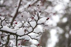 Ένας κλάδος των άγρια περιοχών αυξήθηκε στο χιόνι Χειμώνας Στοκ Εικόνες