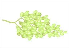 Ένας κλάδος των γλυκών juicy σταφυλιών Ώριμα εύγευστα μούρα Φρούτα για το καθαρισμένο γούστο Η πηγή βιταμινών και ίχνους ελεύθερη απεικόνιση δικαιώματος