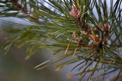 Ένας κλάδος firtree Στοκ Εικόνα