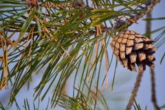 Ένας κλάδος firtree Στοκ Φωτογραφίες