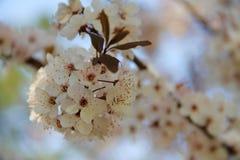 Ένας κλαδίσκος των άσπρων λουλουδιών Στοκ Εικόνες