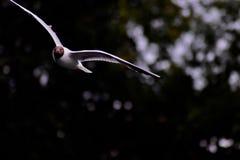 Ένας κοινός γλάρος κατά την πτήση στοκ εικόνες