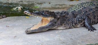 Ένας κροκόδειλος ανοίγει το στόμα του Στοκ φωτογραφία με δικαίωμα ελεύθερης χρήσης
